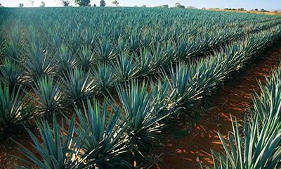 México estudia aumentar la exportación de tequila