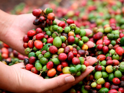 Las exportaciones de café de Honduras bajan un 25 %