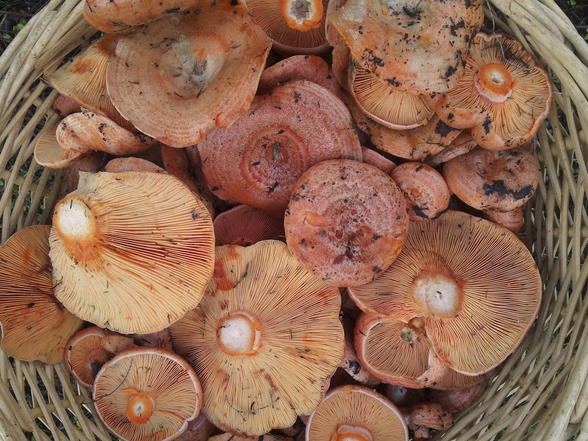 Setas y hongos son protagonistas en los apartamentos en for Como se cocinan los hongos