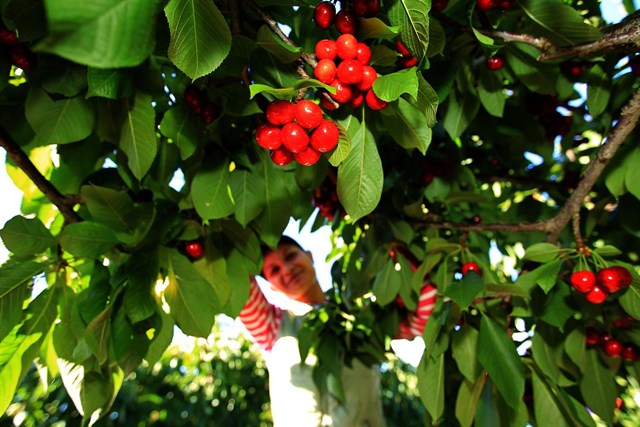 Mercadona cereza Aragon